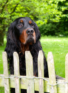Hund Gordon